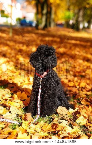 Black poodle in autumn park, beautiful autumn leaves