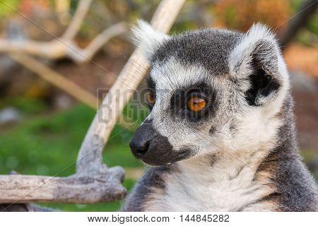 Ring-tailed lemur (Lemur catta) during a summer day