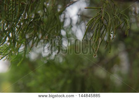 drop of water at leaf The pine , background