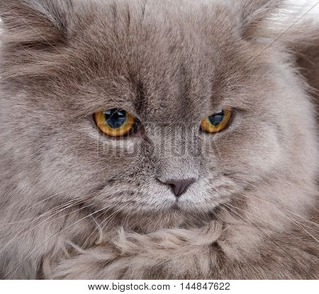 portrait of cute gray Scottish long-haired straight cat on a white  background