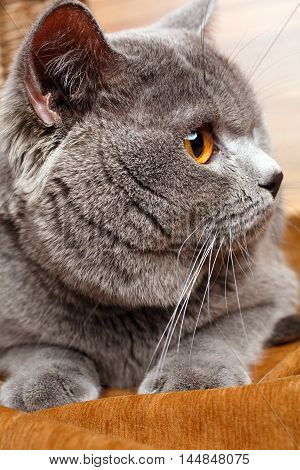 closeup British Shorthair   cat with yellow eyes on a wooden background
