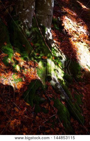 Detail tree roots in the forest. Tree Fagus sylvatica. A tree is heart
