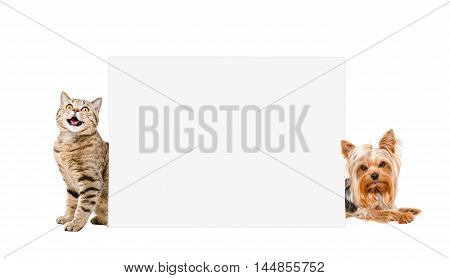 Cat Scottish Straight and Yorkshire terrier, peeking from behind banner, isolated on white background