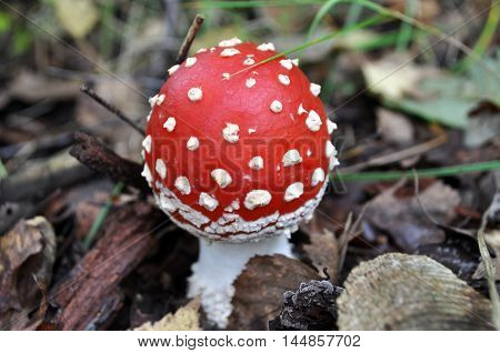 Beautiful fly agaric growing in the forest closeup