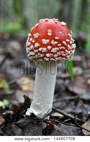 Beautiful fly agaric growing in the forest