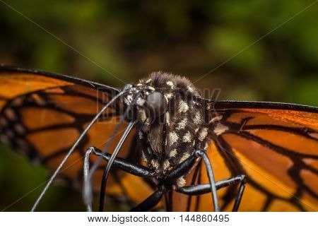Extreme close up monarch butterfly shallow depth of field