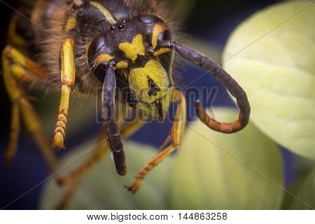 Close up macro scary yellow jacket wasp flying