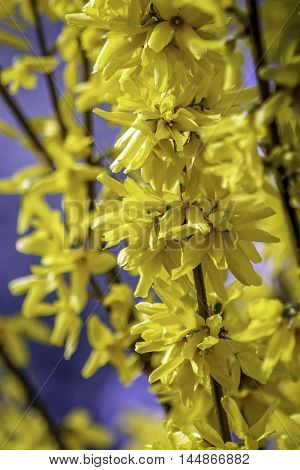 A yellow forsythia bloom against a blue background.