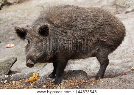 Wild boar (Sus scrofa). Wildlife animal.