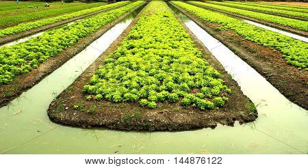 Lettuce vegetable garden plant at Bangbuathong Thailand Asia in rainy season.