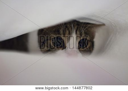 Cat with big eyes under bed sheet