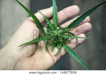 Male hand holding fresh cut of marijuana plant closeup filtered shot