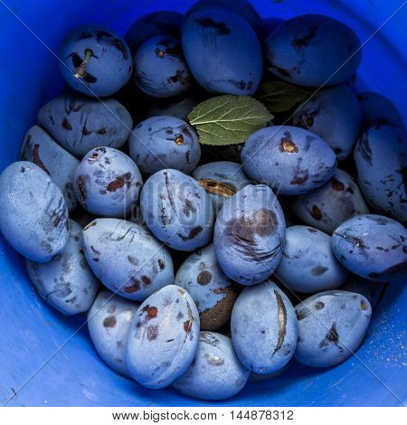 Ripe harvested prunes in a blue bucket