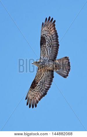 European honey buzzard (Pernis apivorus) in flight with blue skies in the background