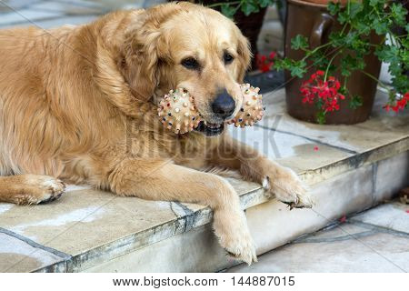 portrait of beautiful golden retriever with toy