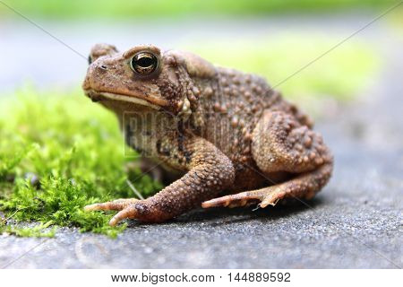 brown toad sitting isolated on mossy rock