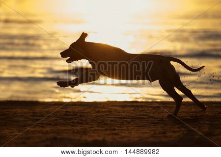 running dog silhouette on a beach at sunset