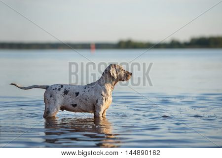 adorable catahoula puppy standing in the water