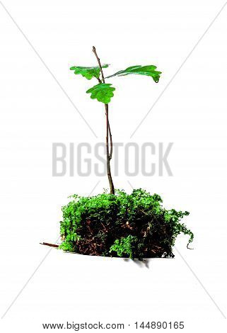Young oak tree sprout in moss isolated over white background