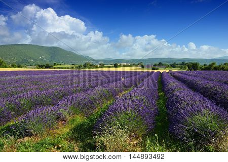 Stunning landscape with lavender field at evening. Plateau of Sault Provence France