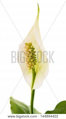 summer flower Spathiphyllum on a white background