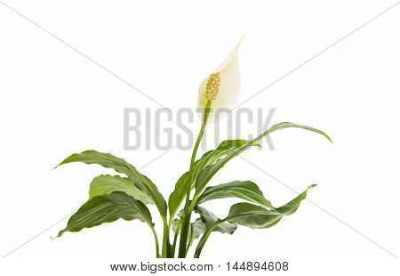 summer flower Spathiphyllum on a white background