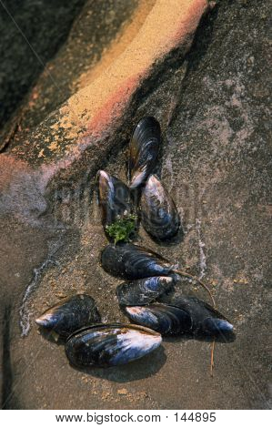 Mussell Shells