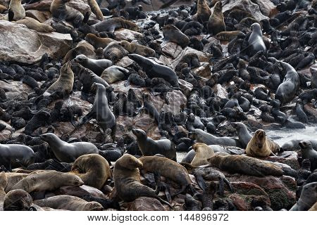 Cape fur seals at the rocky coast of Atlantic ocean. Seal colony on the Cape Cross Skeleton Coast Namibia. Bigest colony in the world