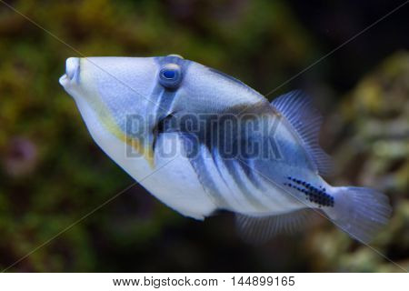 Lagoon triggerfish (Rhinecanthus aculeatus), also known as the Picasso triggerfish. Sea life.