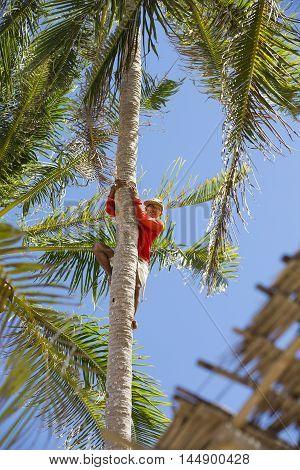 BUKANA, PHILIPPINES - FEB. 2: Male Filipino collector of coconuts on a coconut palm tree FEB. 2, 2016 in Bucana Philippines.