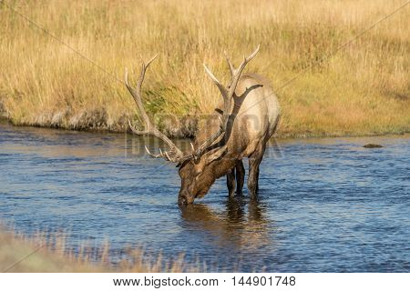 a bull elk stops for a drink in a river during the fall rut