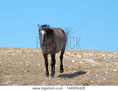 Aggressive Grulla colored Band Stallion on Sykes Ridge in the Pryor Mountains in Montana - Wyoming USA. Some of these were the same horses filmed in the PBS television series on