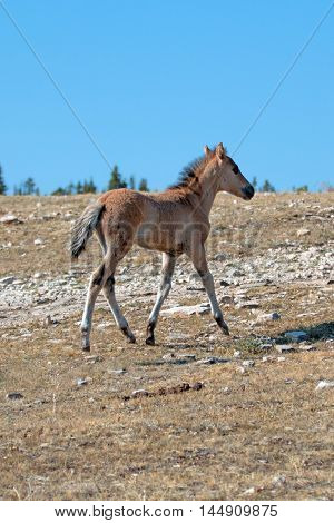 Dun Foal on Sykes Ridge on BLM (Bureau of Land Management) land in the Pryor Mountains in Montana - Wyoming USA