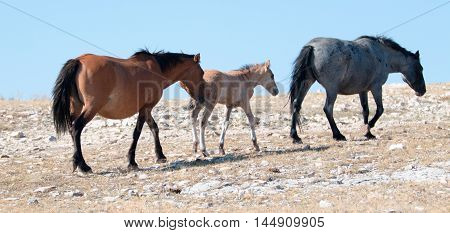 Dun Foal with Dun Mare Mother Blue Roan lead mare in the Pryor Mountains of Wyoming USA