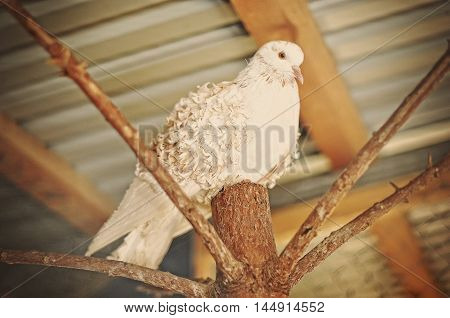 white curly pigeon at cage at zoo