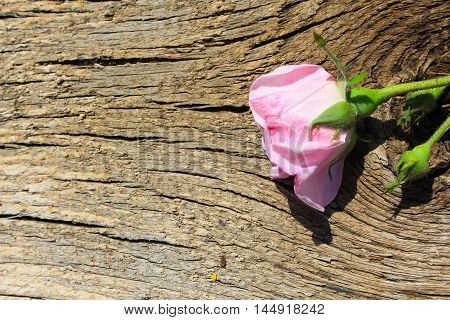 Wild pink rose on the wooden background