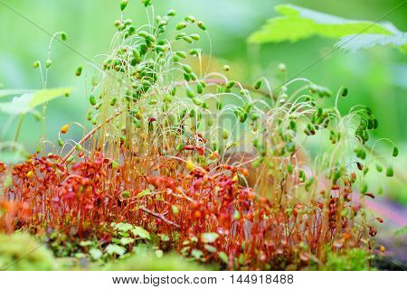 Colorful moss spores after rain in forest. Shallow focus