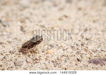 Tiny Frog On Sand