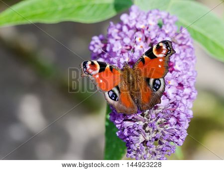 European Peacock butterfly (Aglais io) feeding on Buddleia flower (also known as Butterfly bush orange eye and summer lilac)