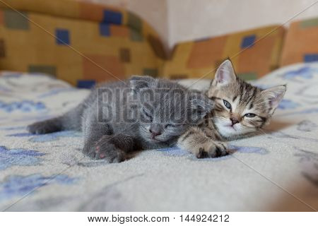 scottish fold young kitten sleeps together on the bed