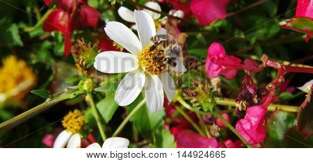 bee collects nectar on a white daisy