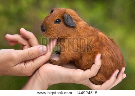 hands of woman stroking young guinea pig on green blurred background