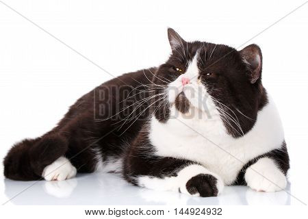 Portrait of a cute lying black and white cat Scottish Straight with close eyes isolated on white background