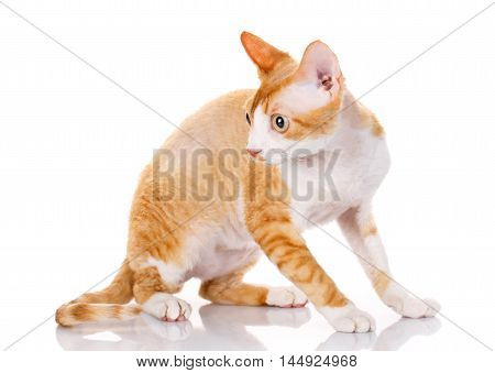 Orange devon rex cat siting on white background and looking aside the camera
