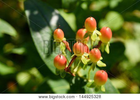 St. John's Wort Berries