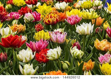 Colorful tulips in the park. Beautiful spring landscape.