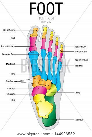 Chart of FOOT Dorsal view - Vector image