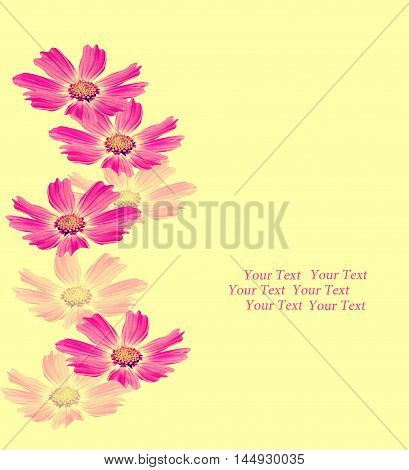 Cosmos flowers isolated on yellow background. Beautiful spring flowers