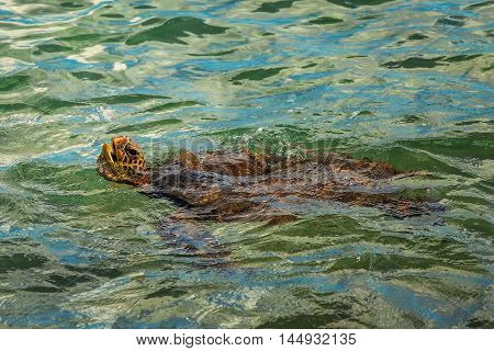 Green Sea Turtle Swimming, Color Image, Maui, USA