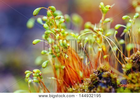 Closeup moss spores on blurred background. Shallow focus